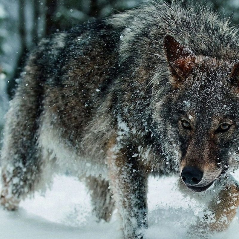 10 Latest Wolves In Snow Wallpaper FULL HD 1920×1080 For PC Background 2018 free download wolf in the snow 873137 walldevil 800x800