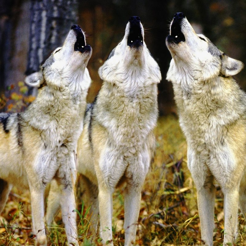 10 Latest Wolf Pack Wallpaper 1920X1080 FULL HD 1080p For PC Desktop 2020 free download wolf pack hd live wallpaper nice wolfpack wallpaper desktop and 800x800