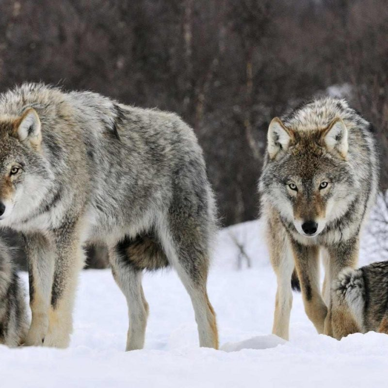 10 Latest Wolf Pack Wallpaper 1920X1080 FULL HD 1080p For PC Desktop 2020 free download wolf pack wallpapers gallery 84 plus pic wpw5011428 juegosrev 800x800