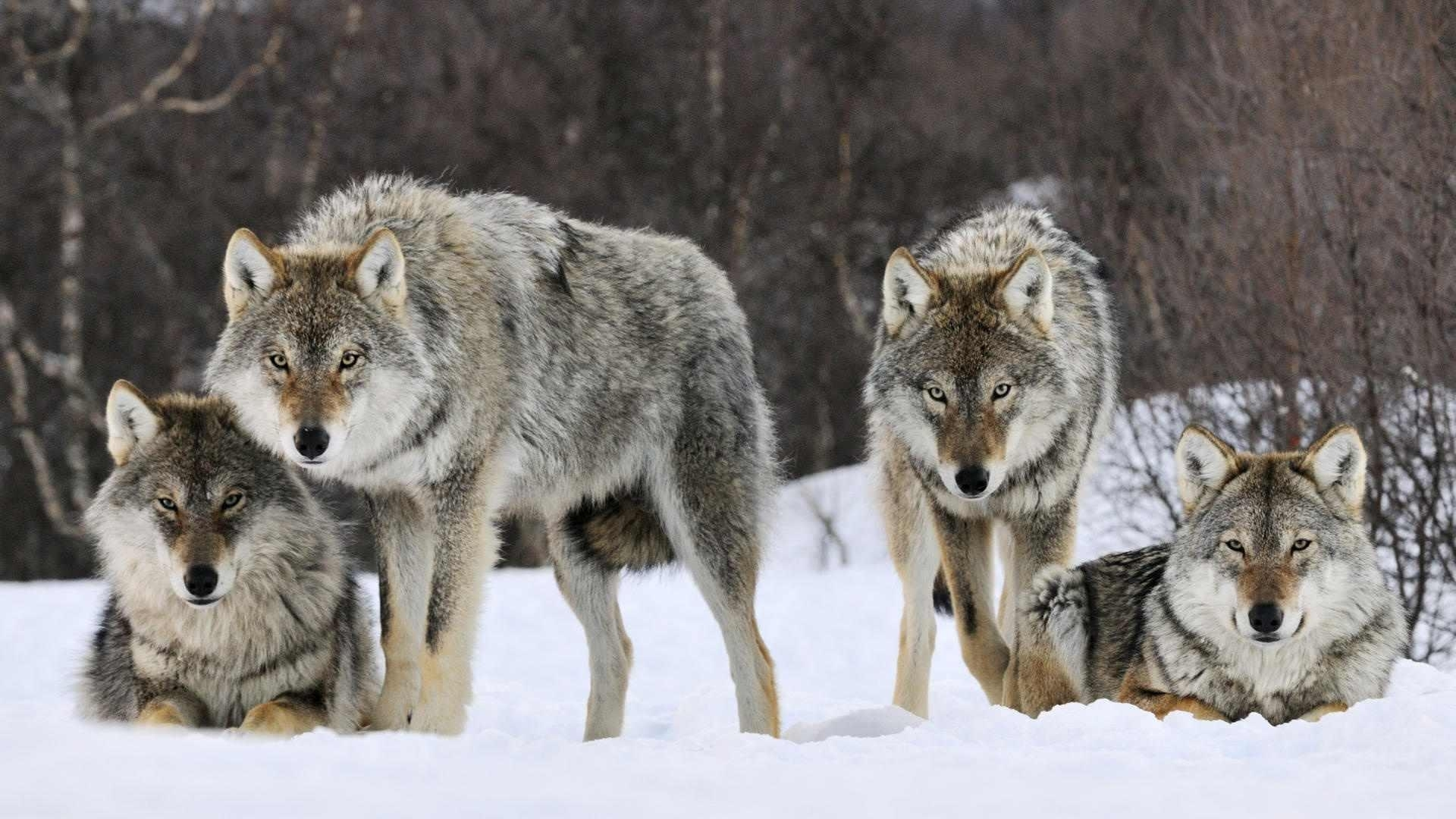 wolf-pack-wallpapers-gallery-(84-plus)-pic-wpw5011428 - juegosrev