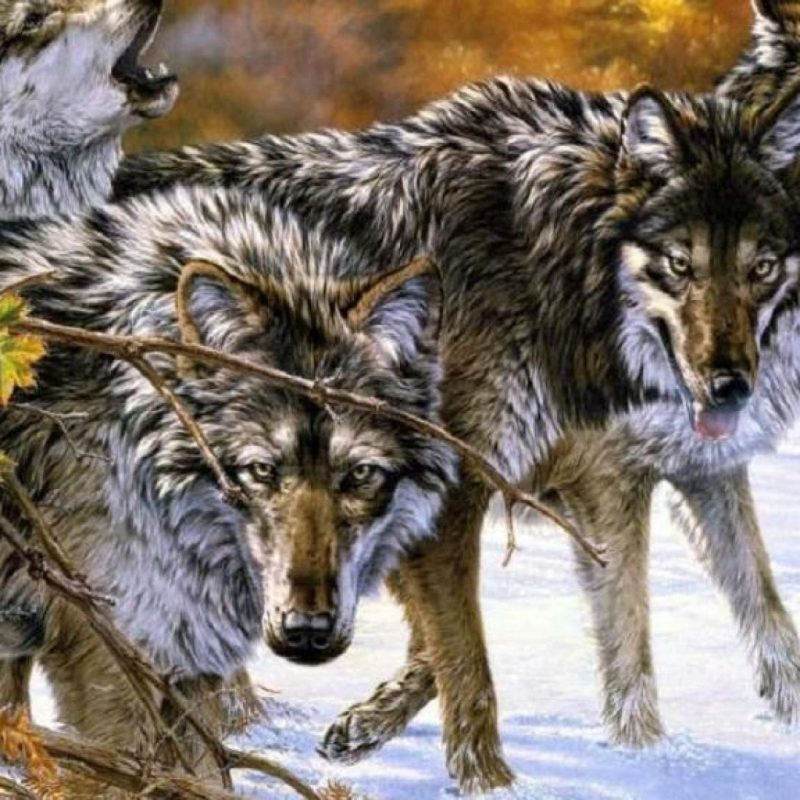 10 Latest Wolf Pack Wallpaper 1920X1080 FULL HD 1080p For PC Desktop 2020 free download wolf pack wallpapers gallery 84 plus pic wpw5011475 juegosrev 800x800