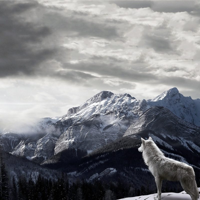 10 New Wolf Pictures For Wallpaper FULL HD 1920×1080 For PC Desktop 2020 free download wolf pictures all about wolves 800x800