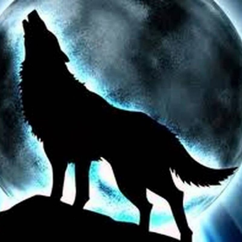 10 Top Cool Pictures Of Wolfs FULL HD 1080p For PC Background 2021 free download wolf pictures cool images of wolves 800x800