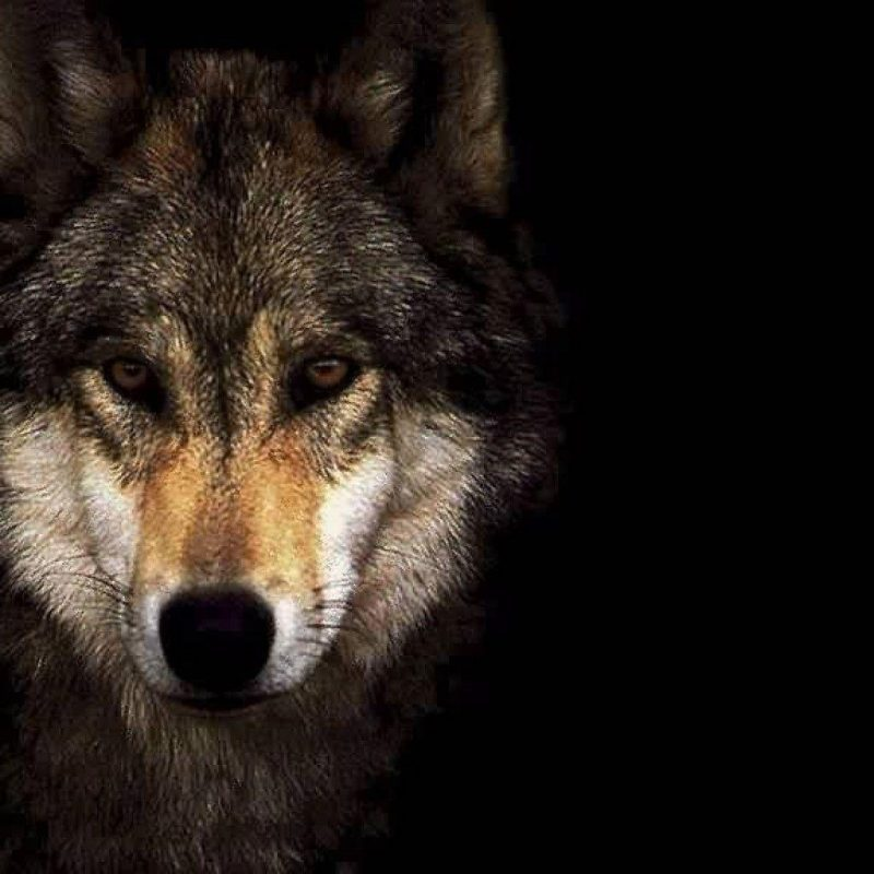 10 Most Popular Hd Wolf Wallpapers 1080P FULL HD 1080p For PC Desktop 2020 free download wolf wallpapers 1920x1080 wallpaper cave 1 800x800