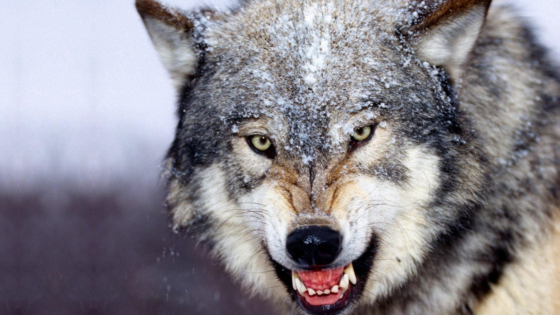wolf wallpapers free download group (77+)