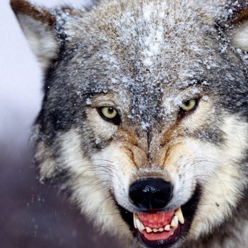 10 Most Popular Grey Wolf Wallpaper 1920X1080 FULL HD 1920×1080 For PC Desktop 2018 free download wolf wallpapers hd group 78 800x800