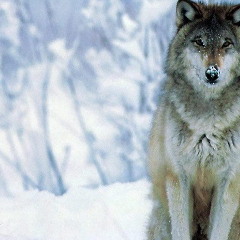 10 Latest Wolves In Snow Wallpaper FULL HD 1920×1080 For PC Background 2018 free download wolf wallpapers x wallpaper hd wallpapers pinterest wolf 800x800
