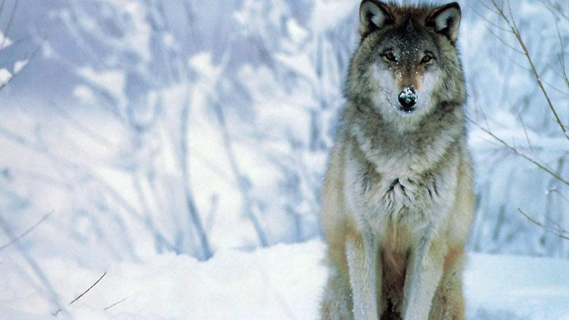 wolf wallpapers x wallpaper | hd wallpapers | pinterest | wolf