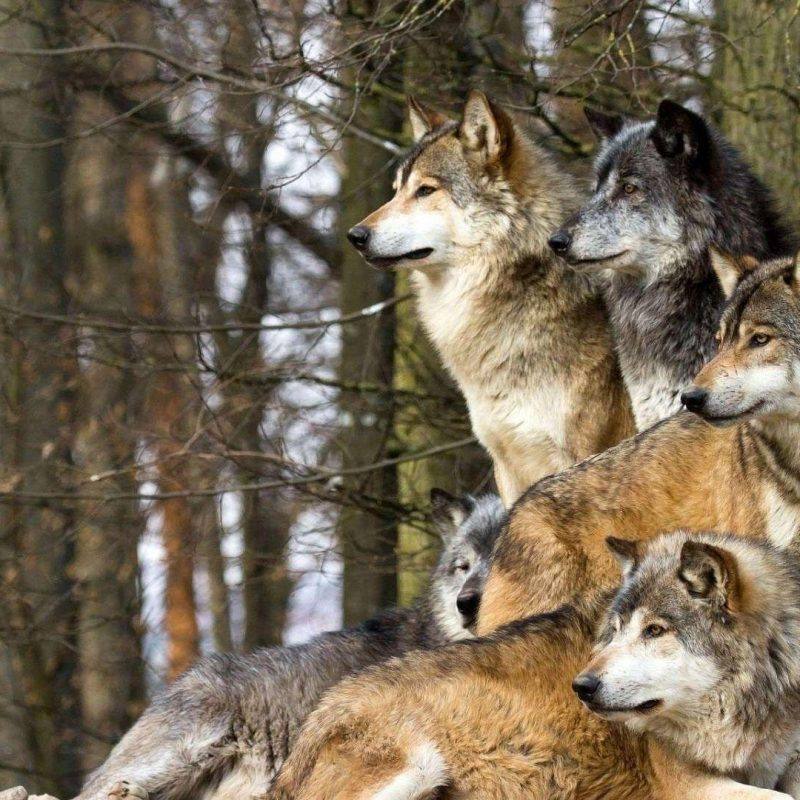 10 Latest Wolf Pack Wallpaper 1920X1080 FULL HD 1080p For PC Desktop 2020 free download wolfpack wallpapers wallpaper cave 800x800