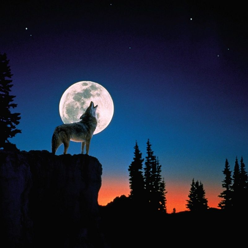 10 Best Wolf Howling At The Moon Wallpaper FULL HD 1080p For PC Background 2020 free download wolves howling google search beautiful wolves pinterest 800x800