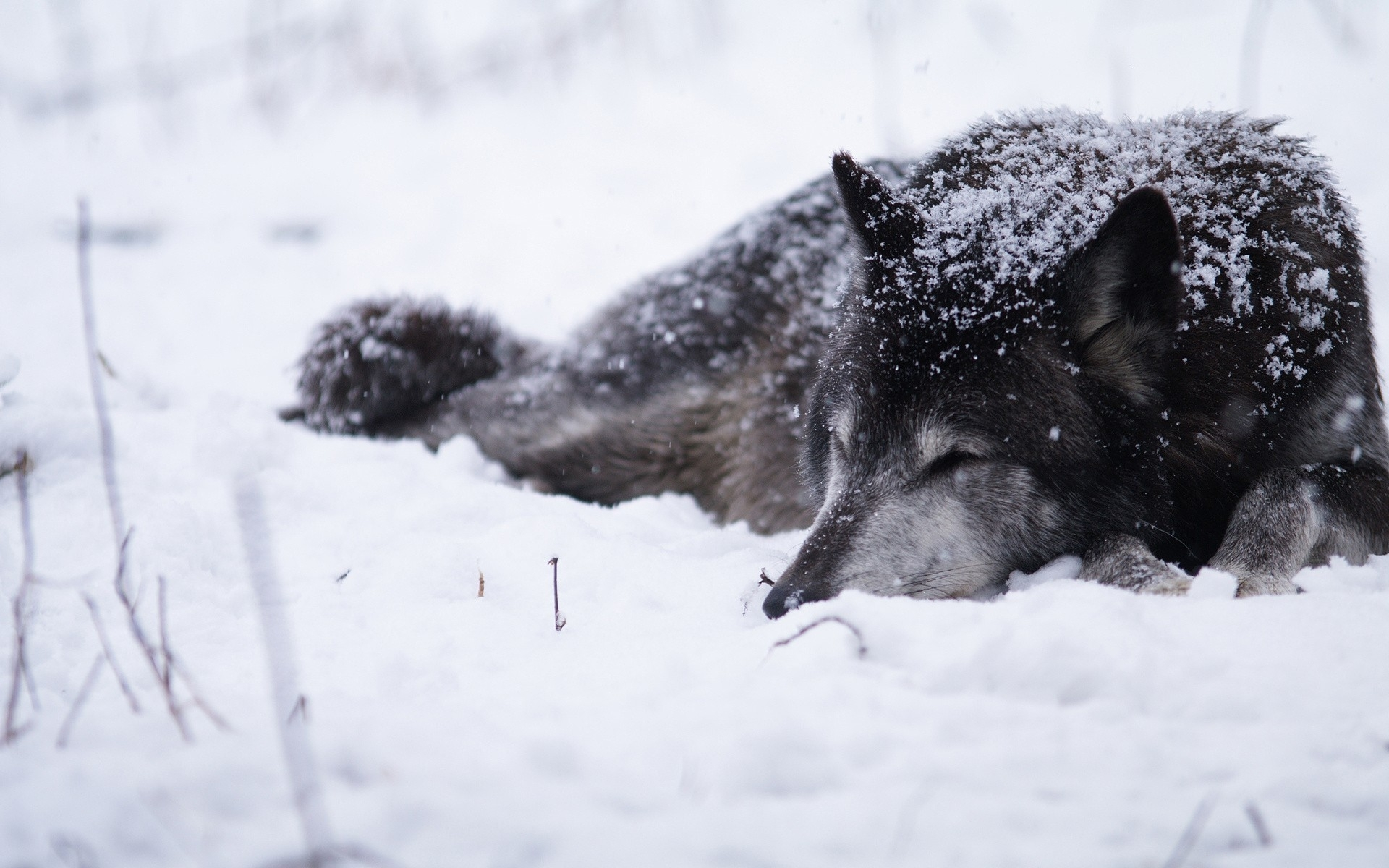 wolves, snow, dogs, animals :: wallpapers