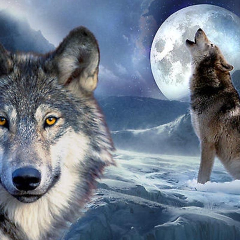 10 New Cool Wallpapers Of Wolves FULL HD 1920×1080 For PC Desktop 2018 free download wolves wallpaper bdfjade 800x800