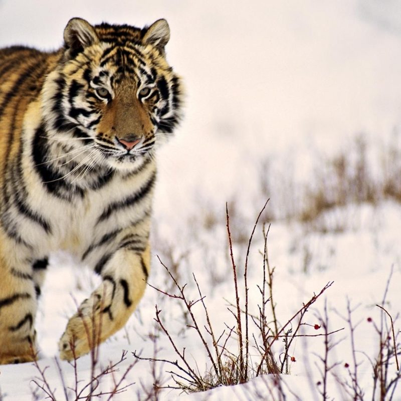 10 New Siberian Tiger Wallpaper Hd 1080P FULL HD 1080p For PC Background 2020 free download x tiger wallpaper full hd 1280x800 tiger wallpapers hd 40 800x800