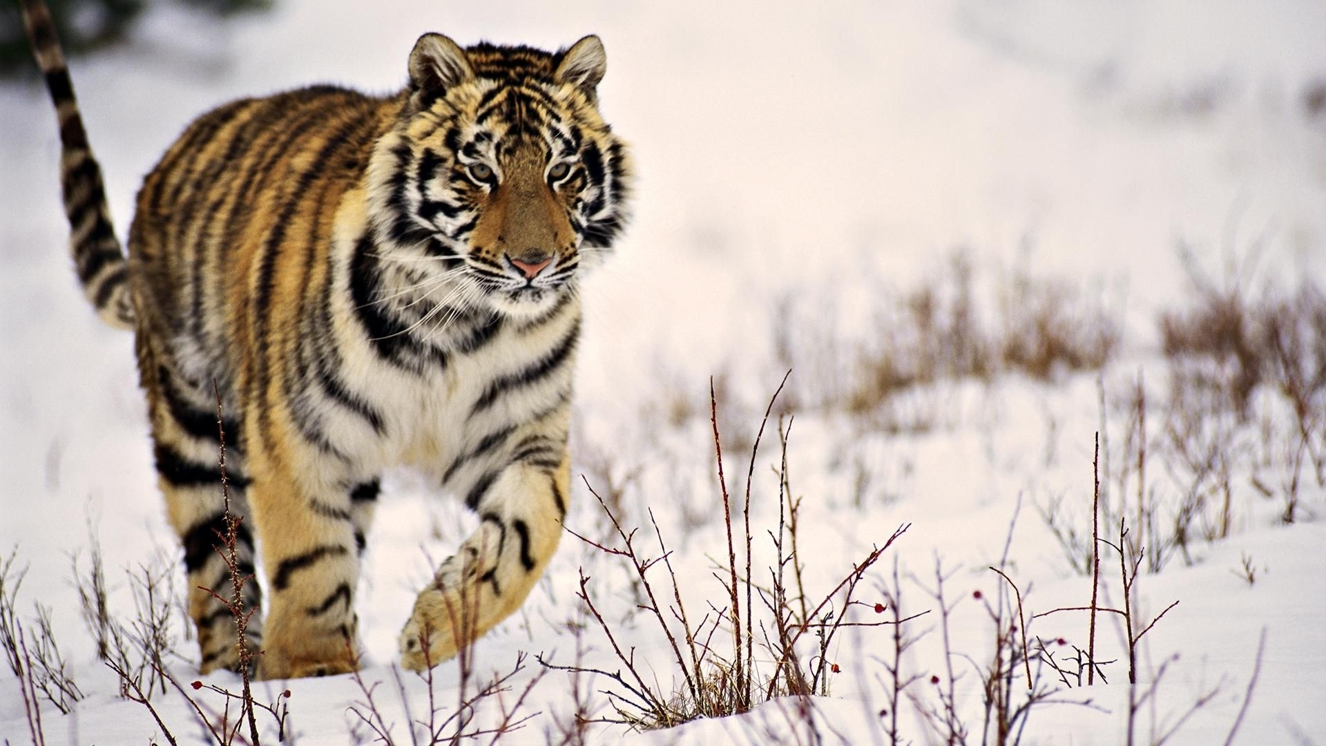 x tiger wallpaper full hd 1280×800 tiger wallpapers hd (40