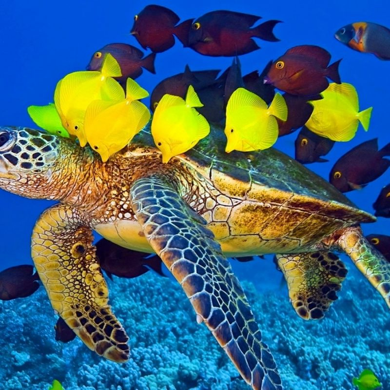10 Best Sea Turtle Hd Wallpaper FULL HD 1080p For PC Background 2020 free download yellow fish and turtle wallpaper for iphone wallpaper wallpaperlepi 800x800