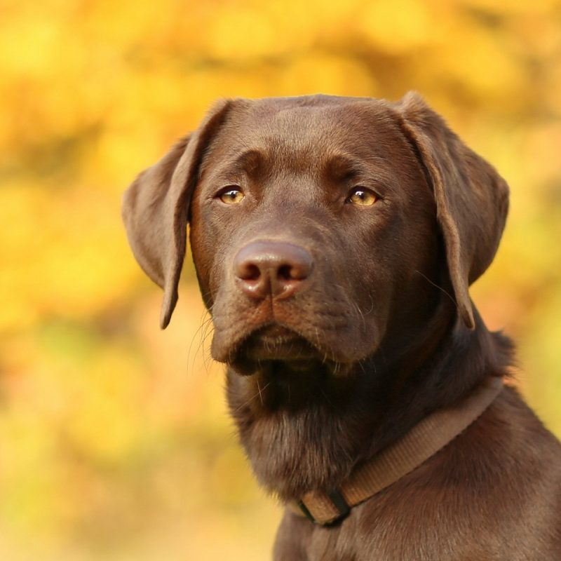 10 New Chocolate Lab Wallpapers FULL HD 1080p For PC Desktop 2020 free download yellow lab wallpaper top backgrounds wallpapers 800x800