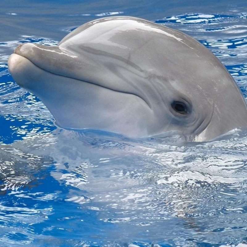 10 Best Dolphins Wallpaper Free Download FULL HD 1920×1080 For PC Background 2021 free download you are viewing dolphin wallpaper 1440x900 full hd and free download 800x800