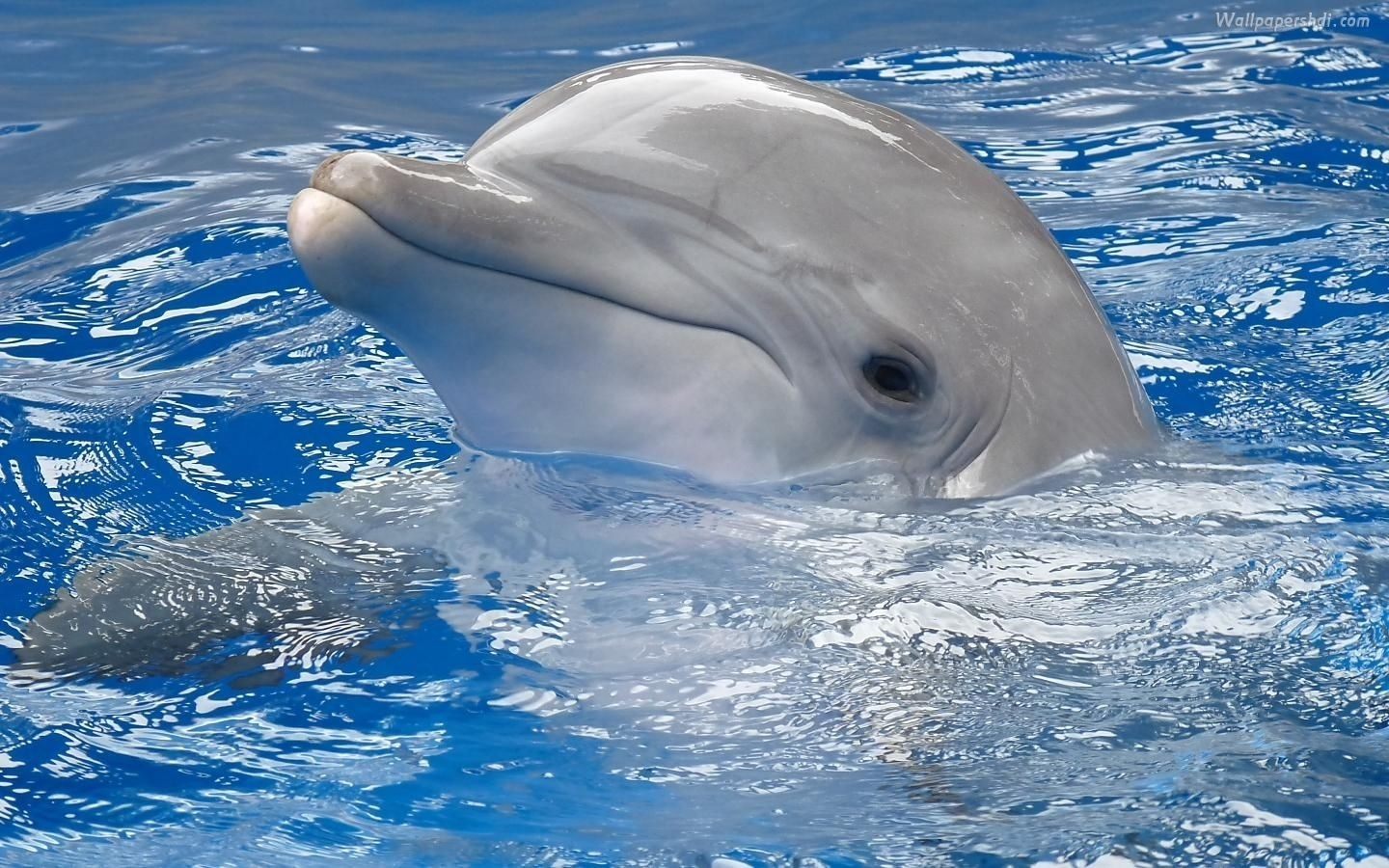 you are viewing dolphin wallpaper 1440×900 full hd and free download