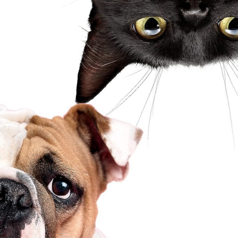 10 Best Cat And Dog Background FULL HD 1920×1080 For PC Background 2018 free download your pet explained the truth about cats and dogs 800x800